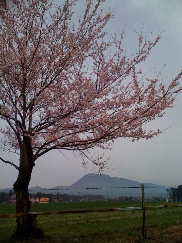 桜と赤城山